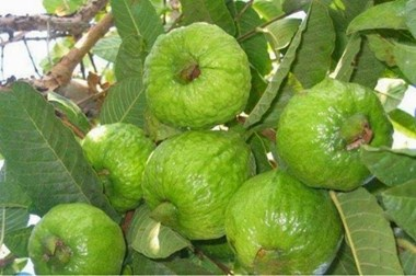 Farmers benefit from guava cultivation in this area