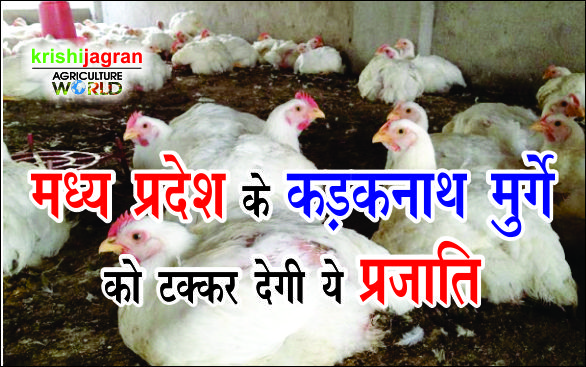 These species will be beaten by Kadakanath Chicken of Madhya Pradesh