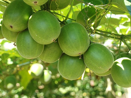 पालमपुर में उगेगा चीनी से 300 गुना मीठा ये फल